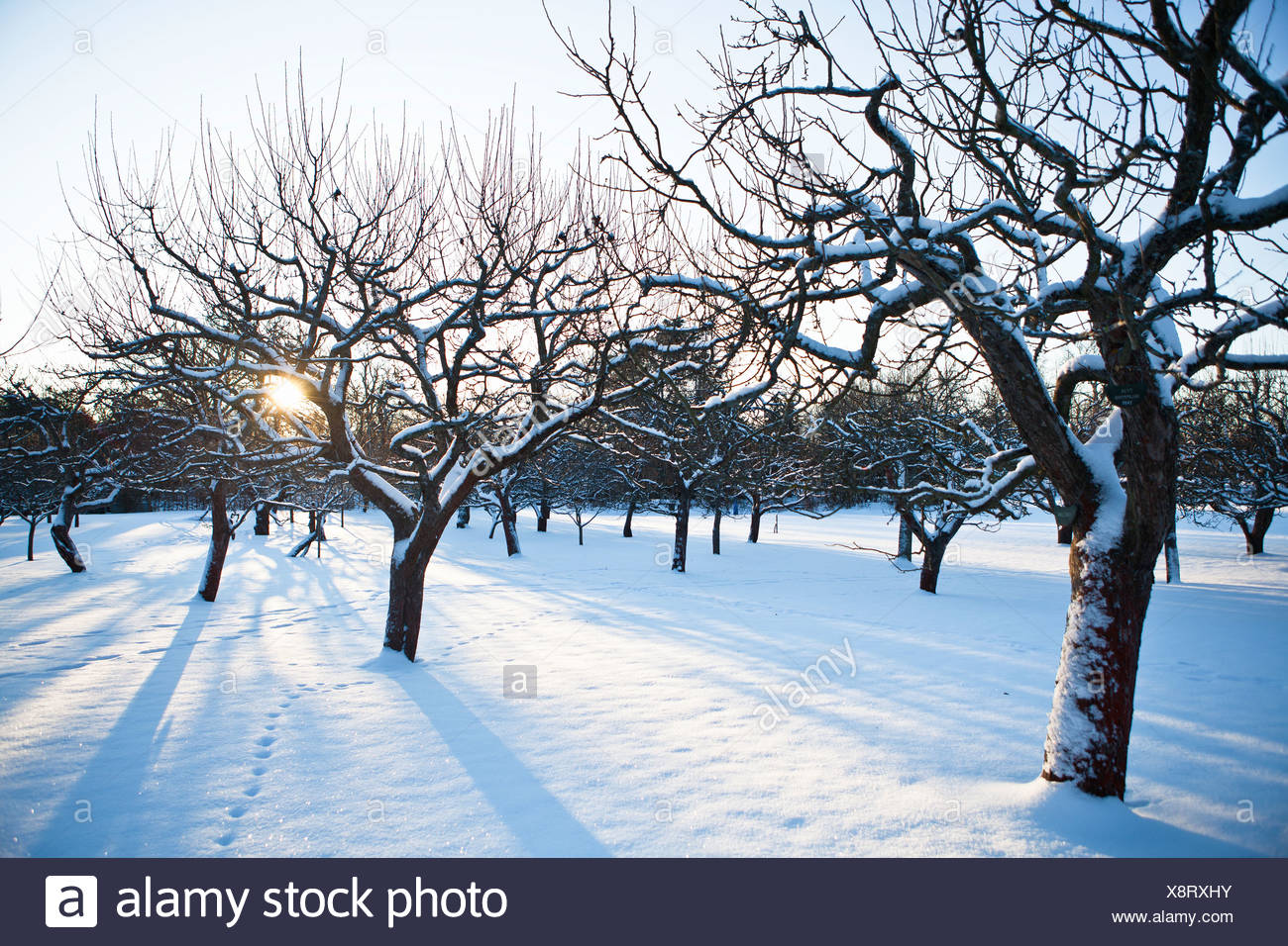 Snow covered trees in winter - Stock Image