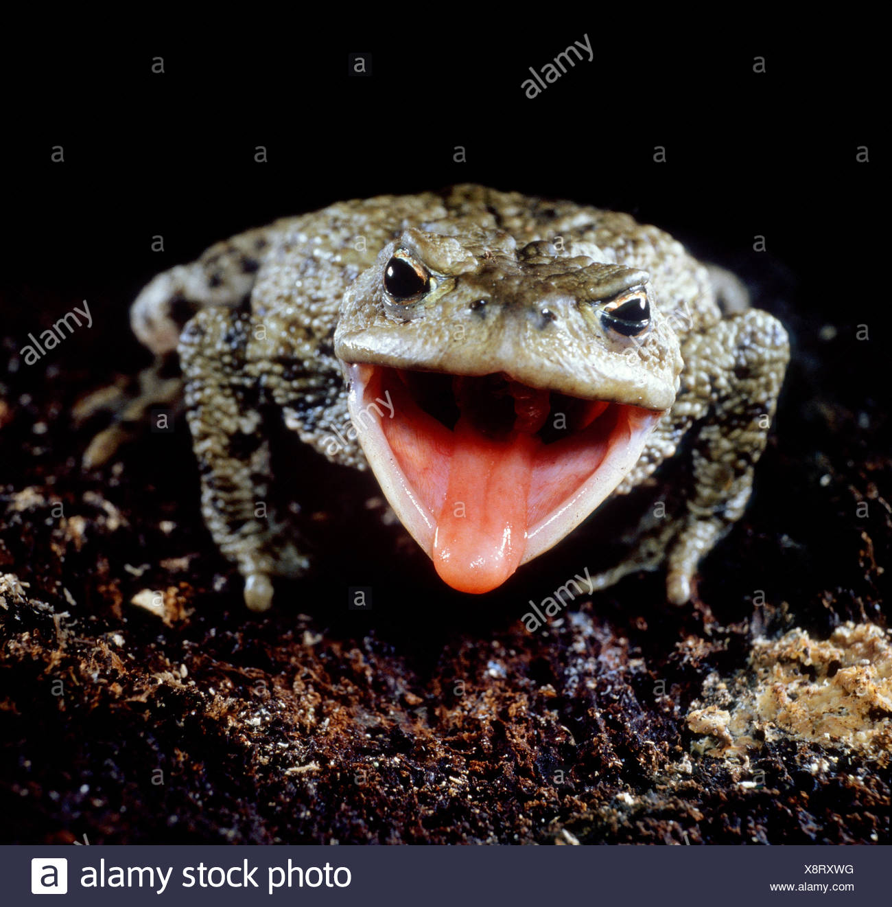 Catching Up With Newt >> Eats Amphibians Stock Photos & Eats Amphibians Stock Images - Alamy