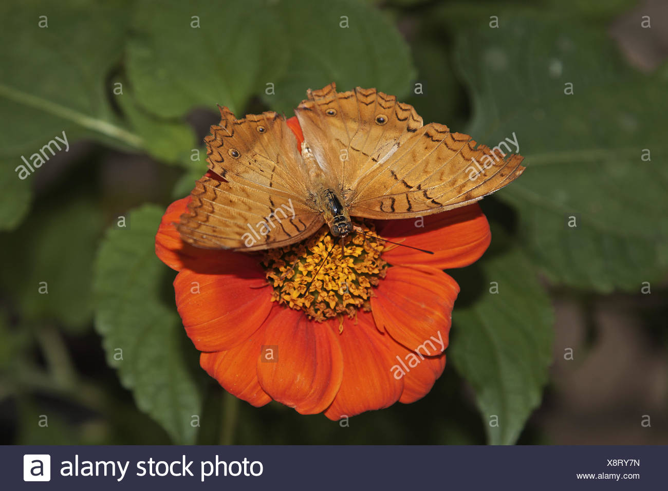 Passion butterlfy - Stock Image