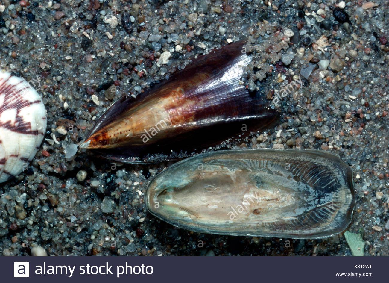 lingulid (Lingula hians), shells on wet sand, Philippines - Stock Image