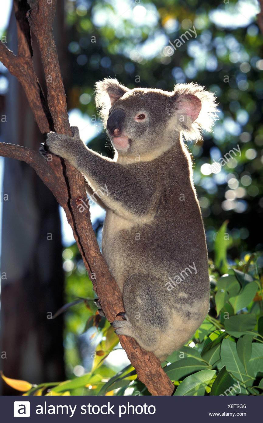 Koala, phascolarctos cinereus - Stock Image