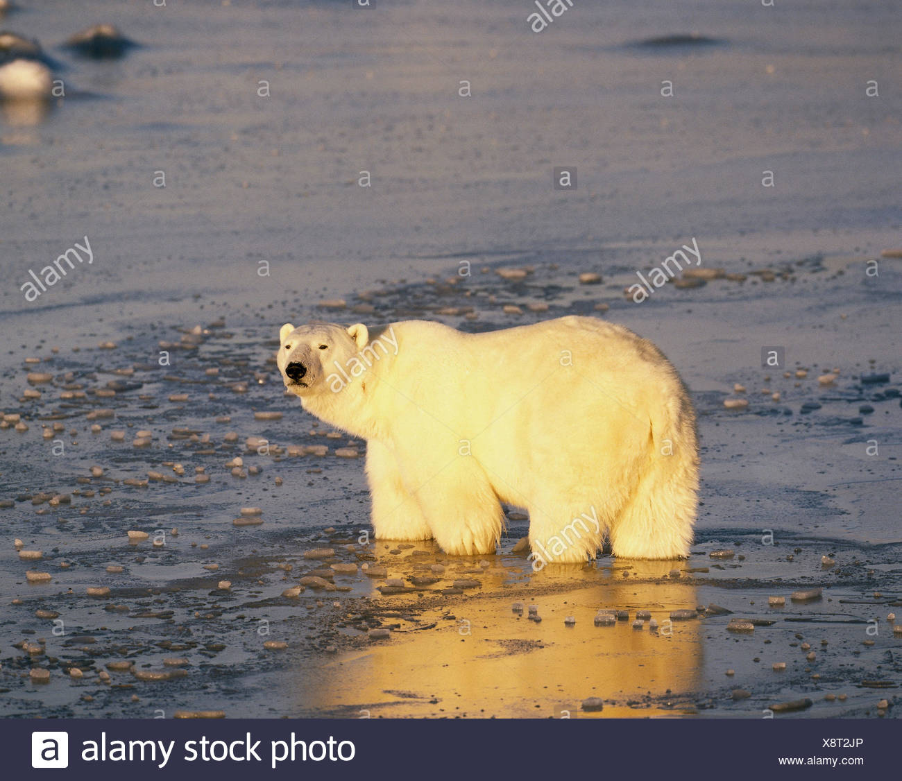 Canada, polar bear, Thalarctos maritimus, Hudson Bay, nature, scenery, animal, bear, Ursus maritimus, freedom, wild animals, habitat, travelling route, raid, individually, loner, white, polar bear, Thalarctos maritimus, Hudson Bay, Canada - Stock Image