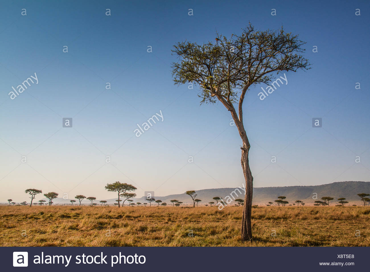 Kenya, Masai Mara, Trees in plain - Stock Image