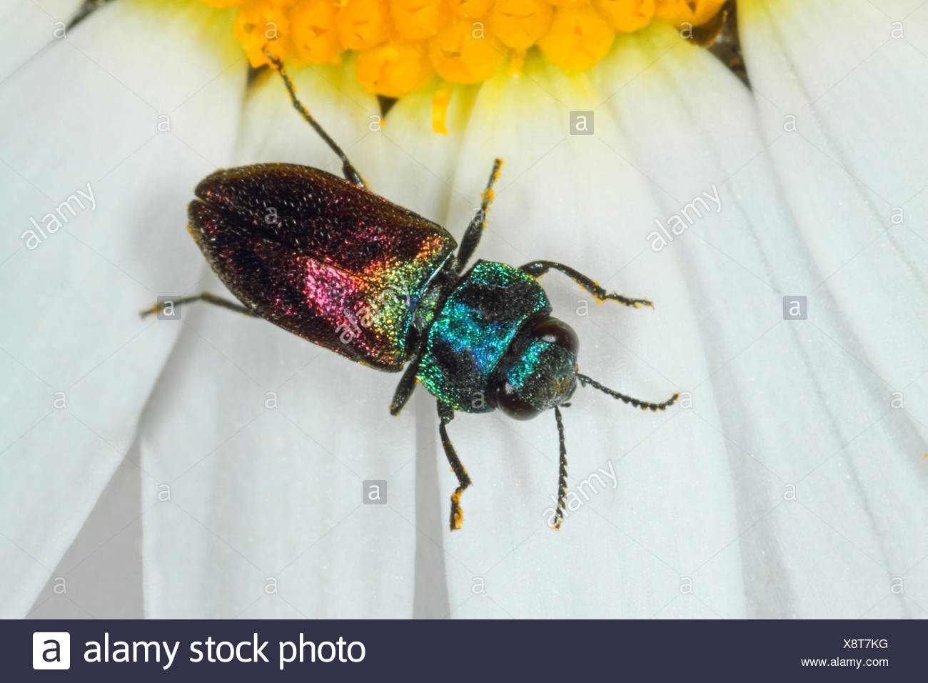 buprestids (Anthaxia suzannae), on an oxe-eye daisy, Germany - Stock Image