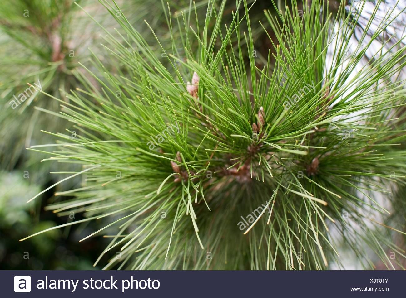 Aleppo pine closeup Pinus halepensis with copy space. - Stock Image