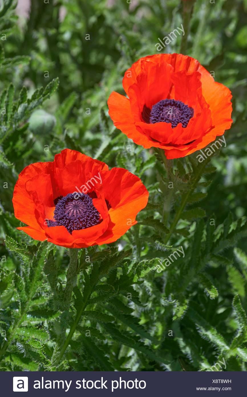 Oriental Poppy Flowers Papaver Orientale Stock Photo 280816973 Alamy