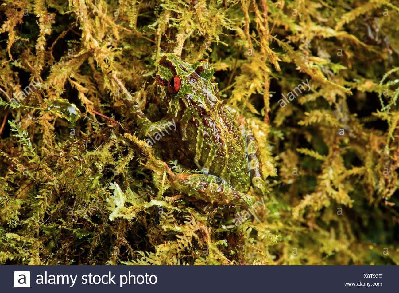 Neotropical frog (Pristimantis eriphus), male, identifiable by the red eyes, Andean cloud forest, Cosanga, Ecuador Stock Photo