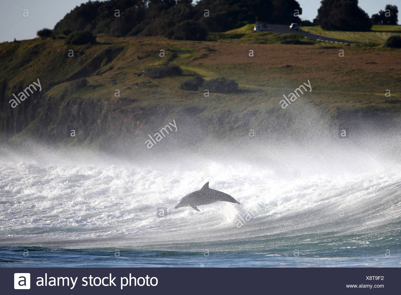Dolphin leaping out of ocean - Stock Image