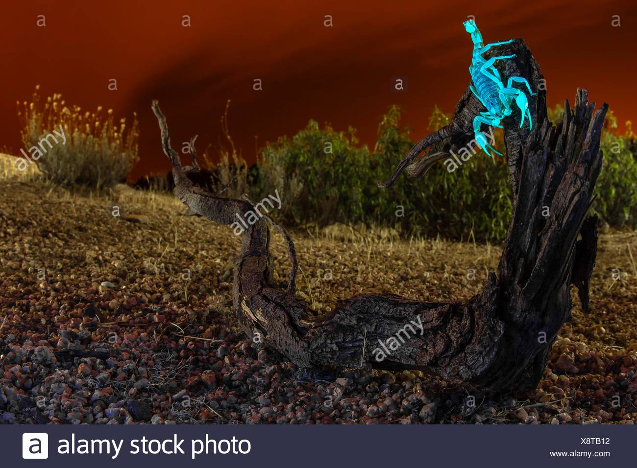 The scorpions exocuticle contain two proteins the ?-carboline and 7-hydroxy-4-methylcoumarin which under ultraviolet light make - Stock Image