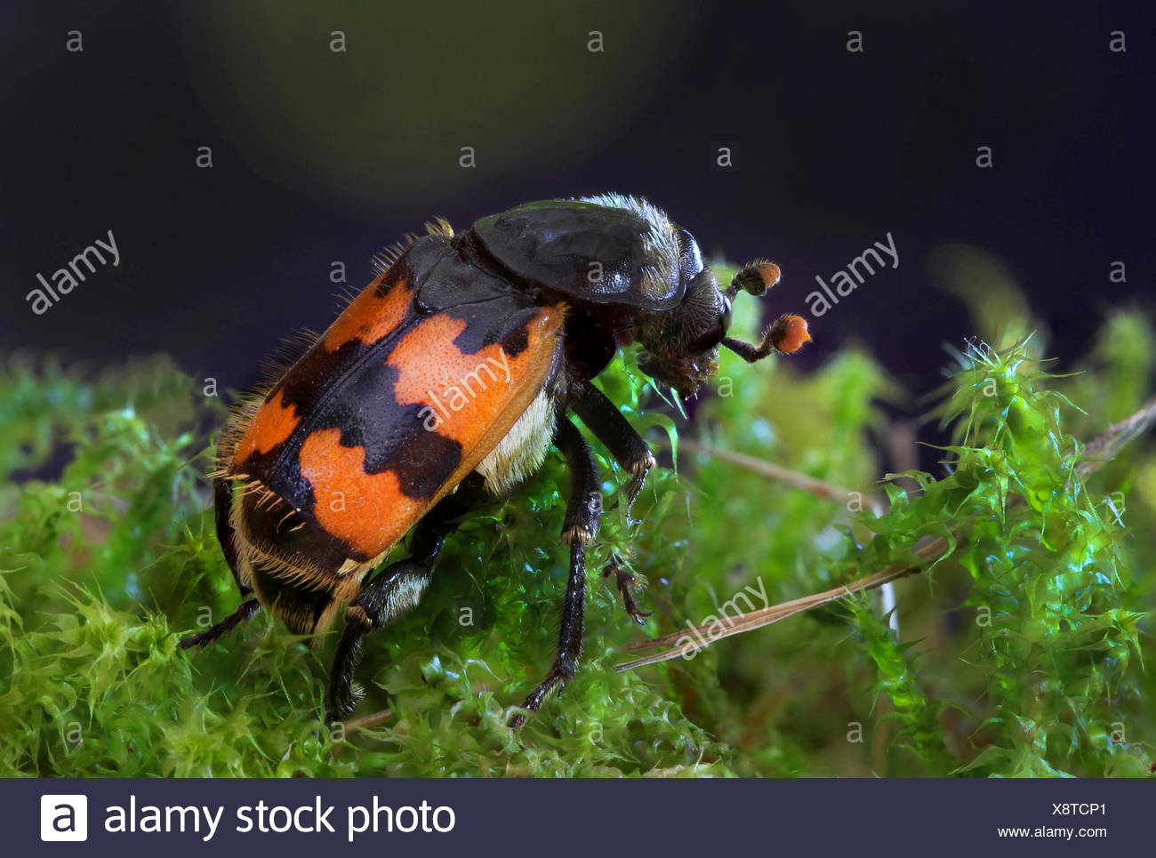 Burying Beetle (Necrophorus vespillo), on moss - Stock Image
