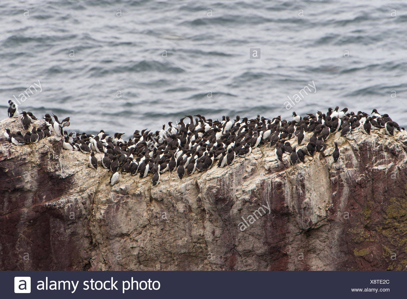 Colony of Common Murres or Common Guillemots (Uria aalge) nesting on a cliff, Dunbar, Scotland, United Kingdom Stock Photo