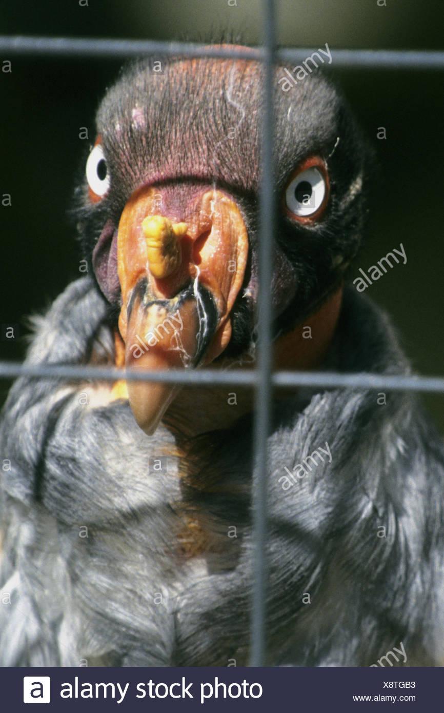 king vulture (Sarcorhamphus papa), portrait behind bars - Stock Image