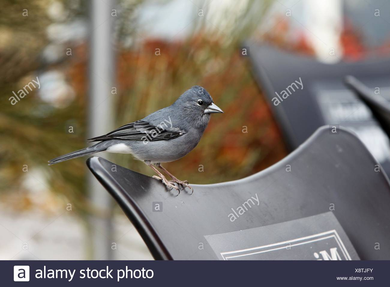 blue chaffinch - Stock Image