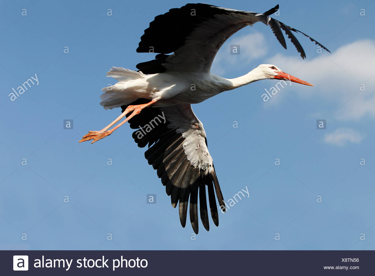 White Stork, ciconia ciconia, Adult in Flight against Blue Sky Stock Photo