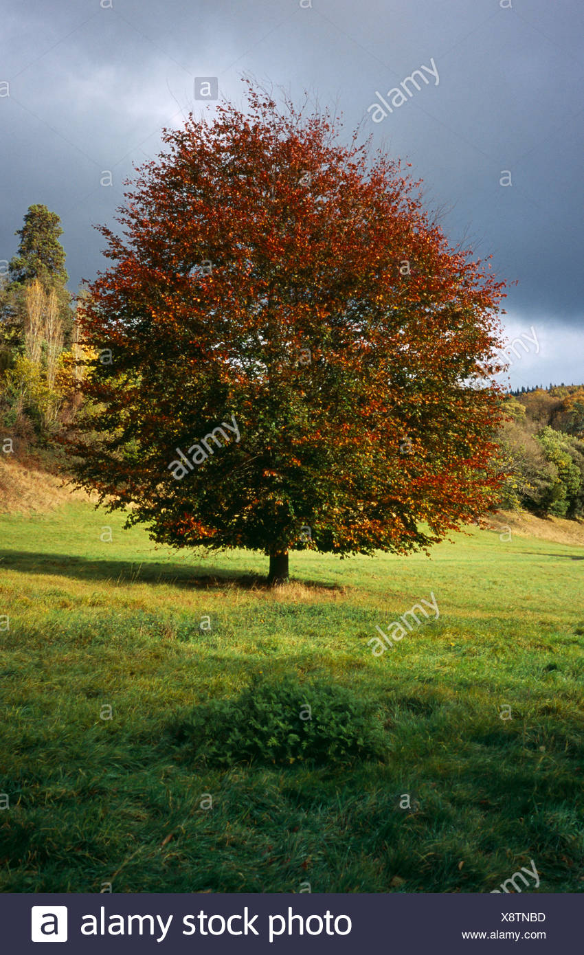 Broad leaved Lime tree, Tilia platyphyllos, in autumn foliage against grey sky.  Wales, Gwent, Monmouth. Stock Photo