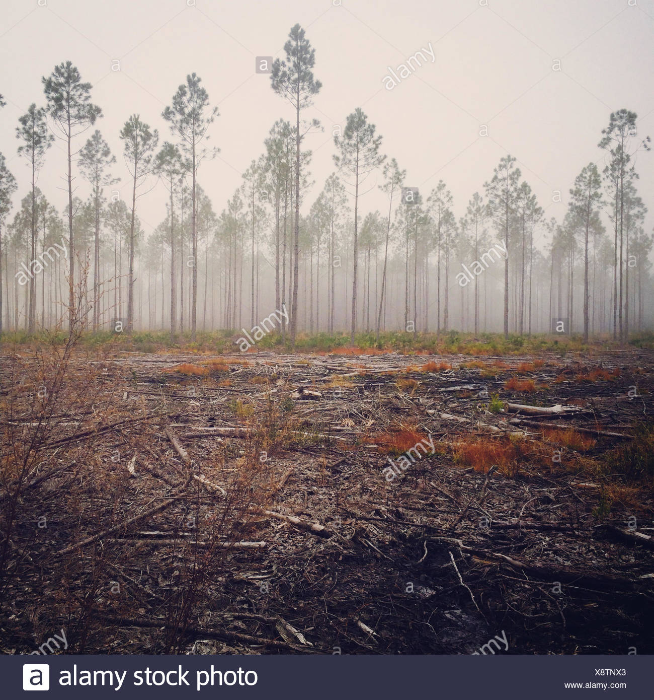 View of pine tree in fog, America, USA - Stock Image