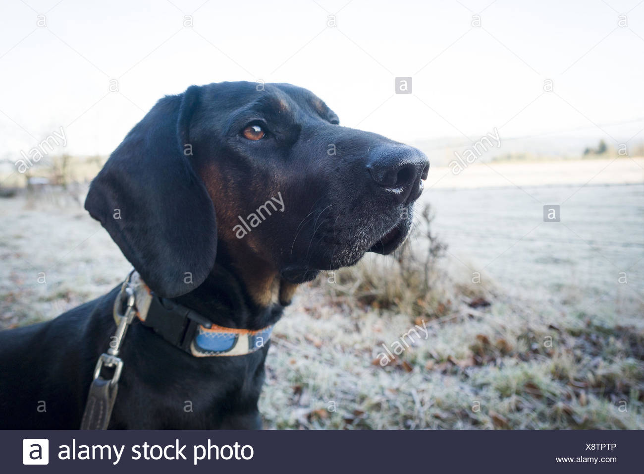 Polish Hound, black hunting hound, portrait - Stock Image
