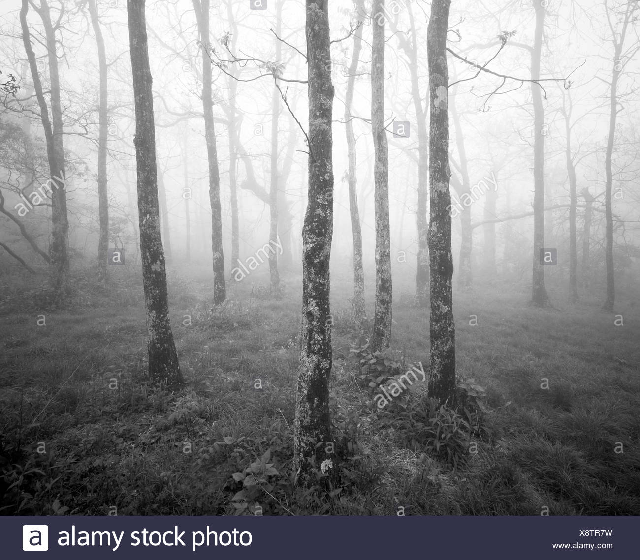 Black and white photograph of misty forest at the start of the Appalachian Trail on Springer Mountain, Georgia, USA. - Stock Image