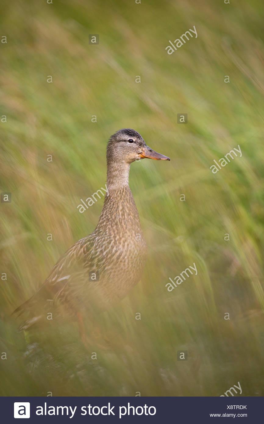 Mallard (Anas platyrhynchos), female, Kamloops, British Columbia. - Stock Image