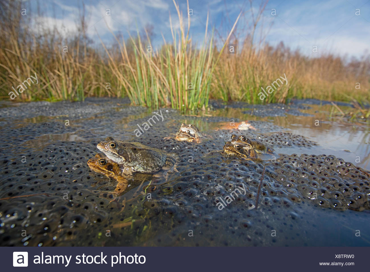 common frogs between frog spawn - Stock Image