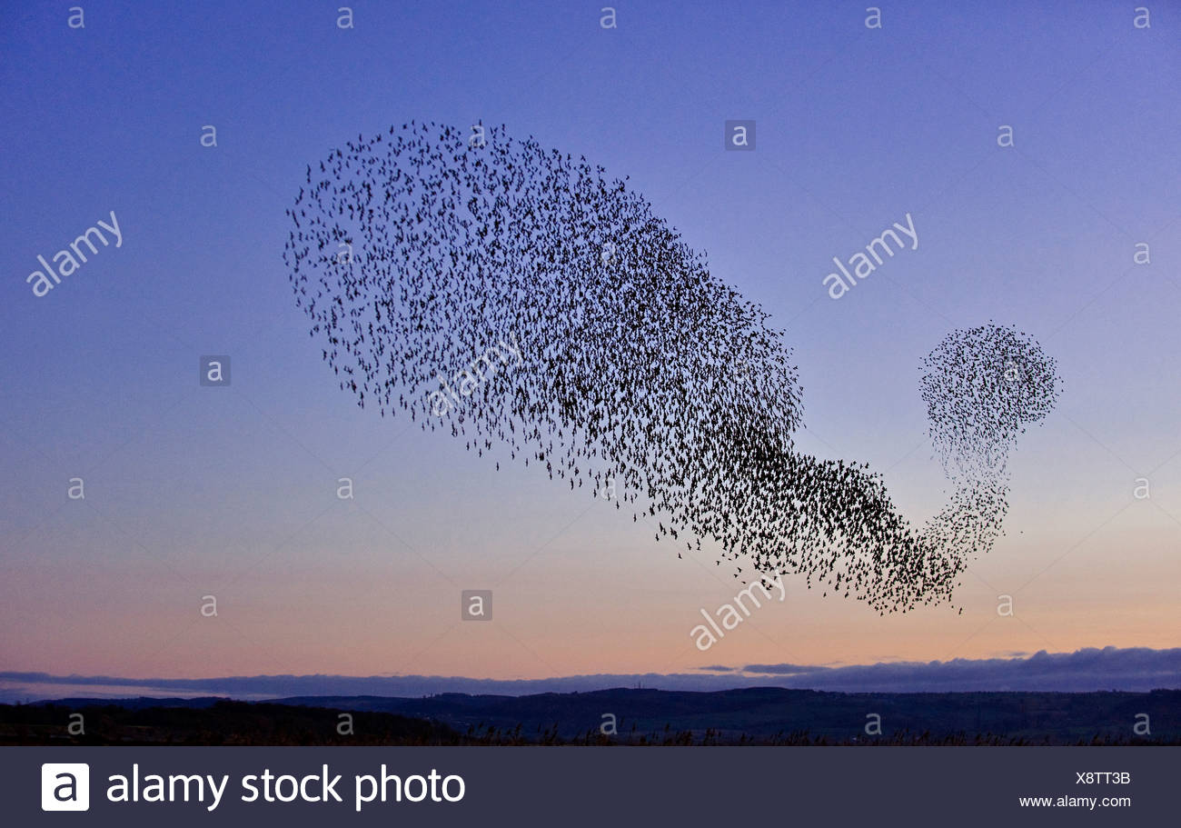 Starling (Sturnus vulgaris) flock in flight at dusk to winter roost. Gloucestershire - Stock Image