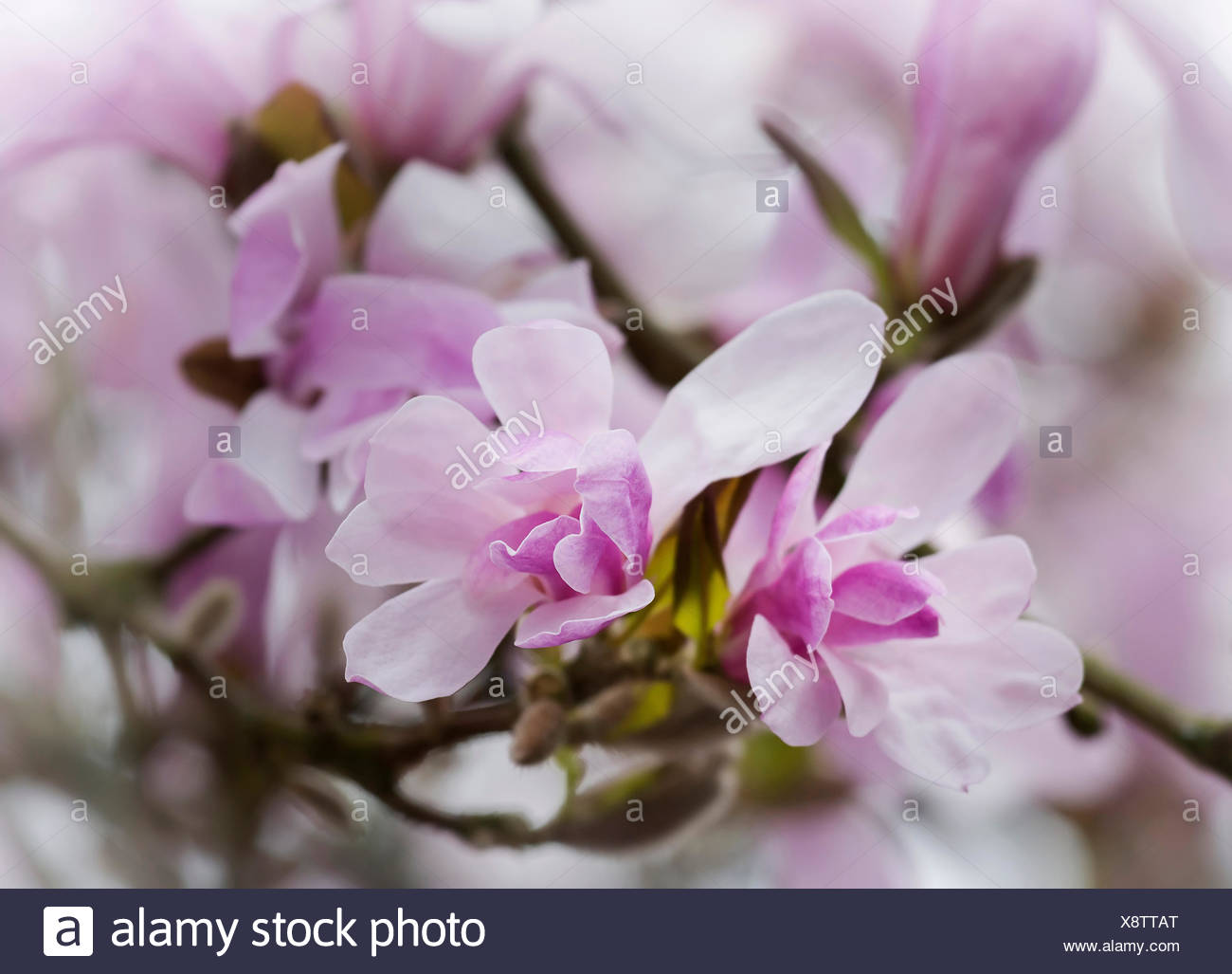 Magnolia, Magnolia 'Leonard Messel', Magnolia x loebneri 'Leonard Messel', Pastel pink flowers growing outdoor on the tree. Stock Photo