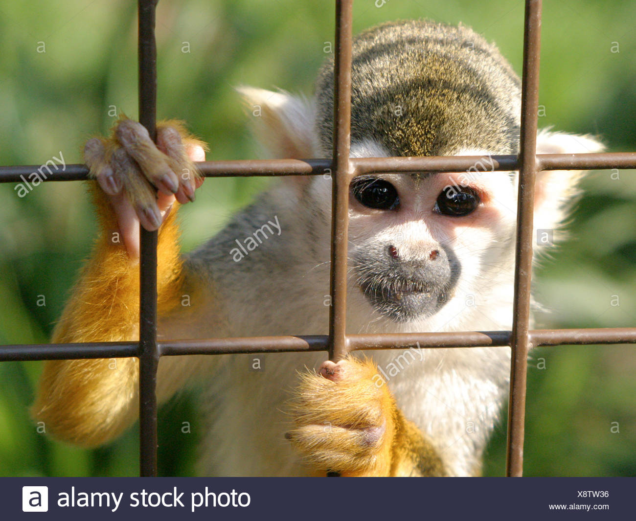 A squirrel monkey in a caged, looking out from behind bars. Stock Photo