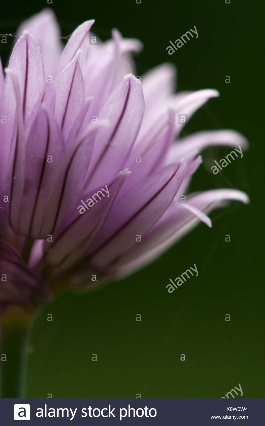 Allium schoenoprasum, Chive, Purple flower subject green background. - Stock Image
