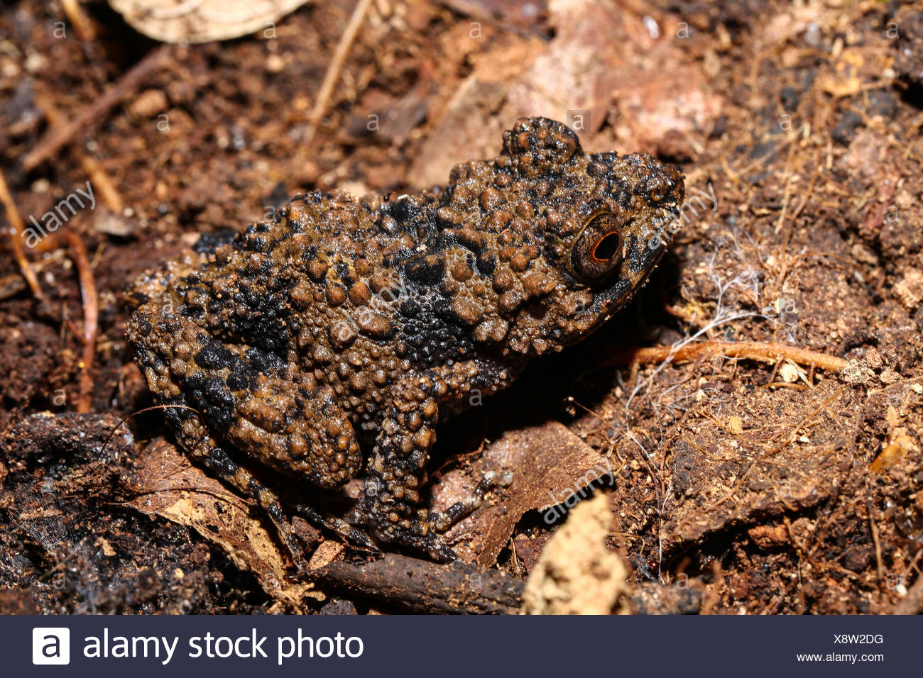 Boettger's grainy frog (Gephyromantis horridus) sitting camouflaged on the ground, Amber Mountain National Park, Diana - Stock Image