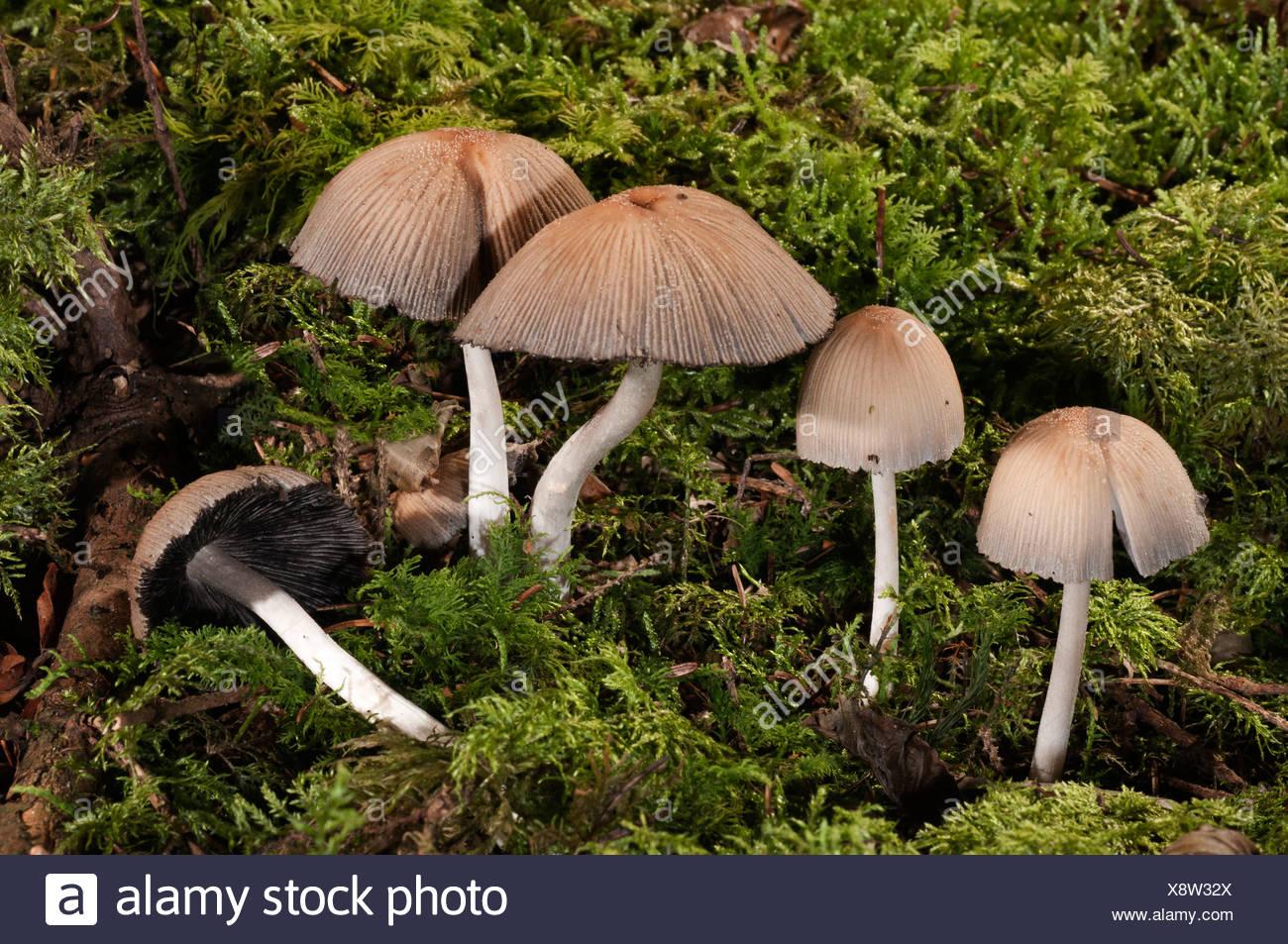 Mica Cap or Glistening Inky Cap (Coprinus micaceus), Untergroeningen, Baden-Wuerttemberg, Germany, Europe - Stock Image