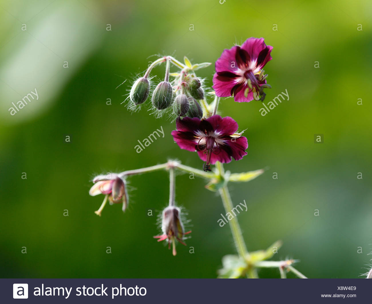 Dusky Cranesbill or Mourning Widow (Geranium phaeum) - Stock Image
