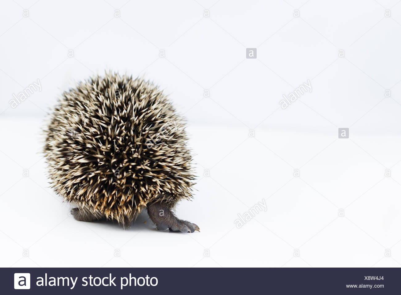 Hedgehog (Erinaceus europaeus) rear view young orphan at rescue centre captive - Stock Image