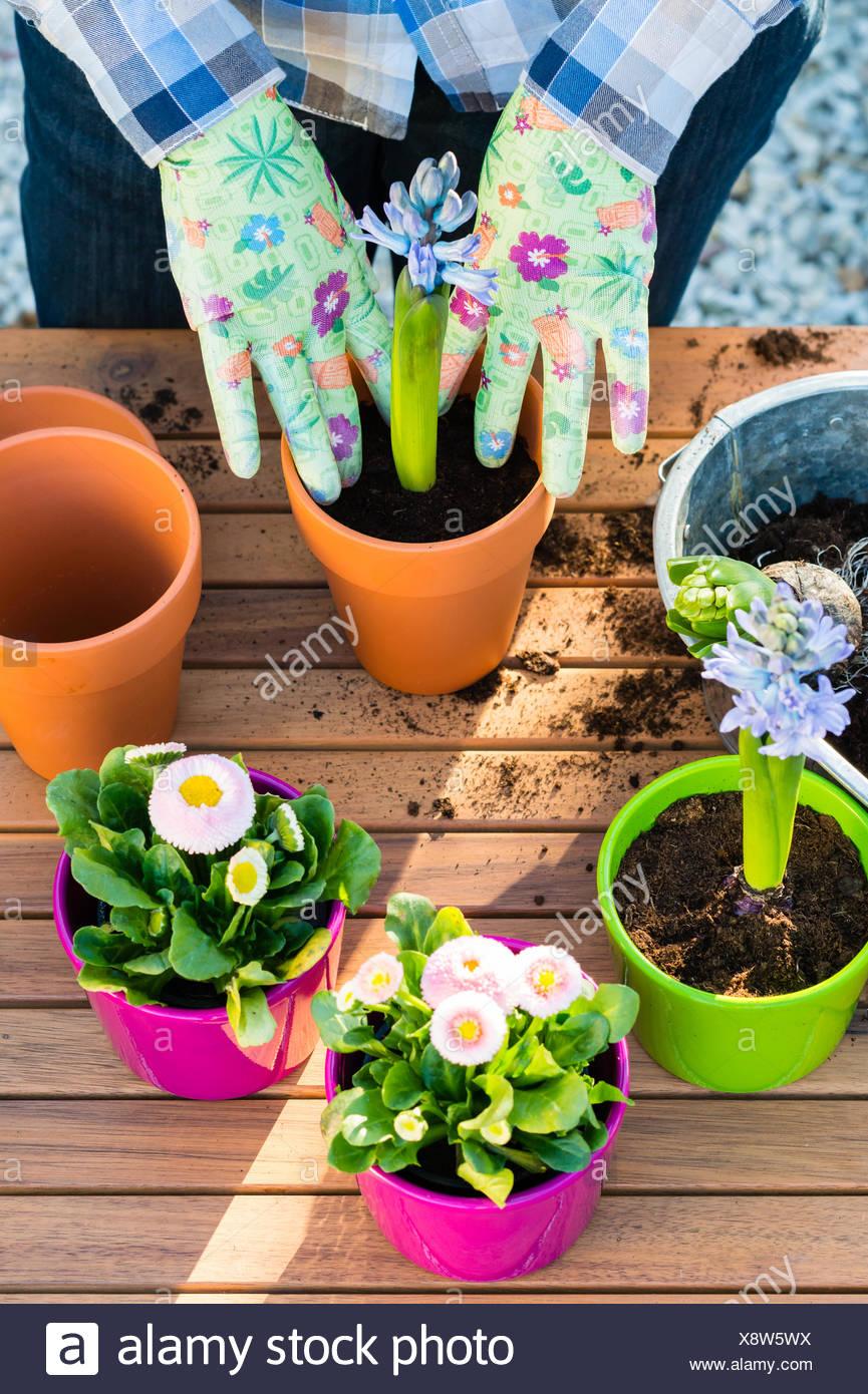 Woman planting flower bulbs - Stock Image