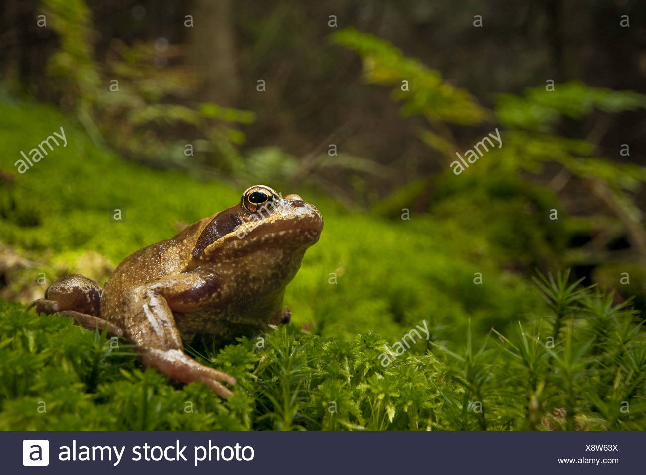 common frog, grass frog (Rana temporaria), sitting on moss at a clearing, Germany, Rhineland-Palatinate - Stock Image