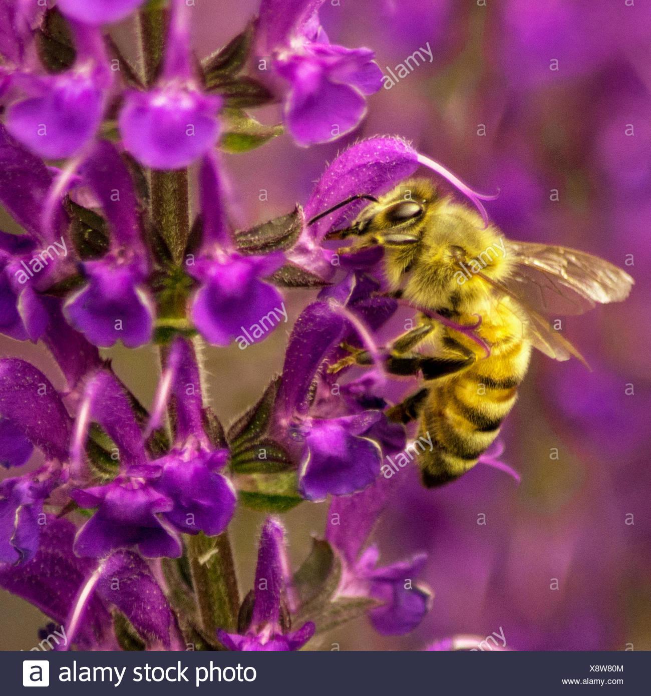 USA, Colorado, Bee in Midnight Salvie - Stock Image