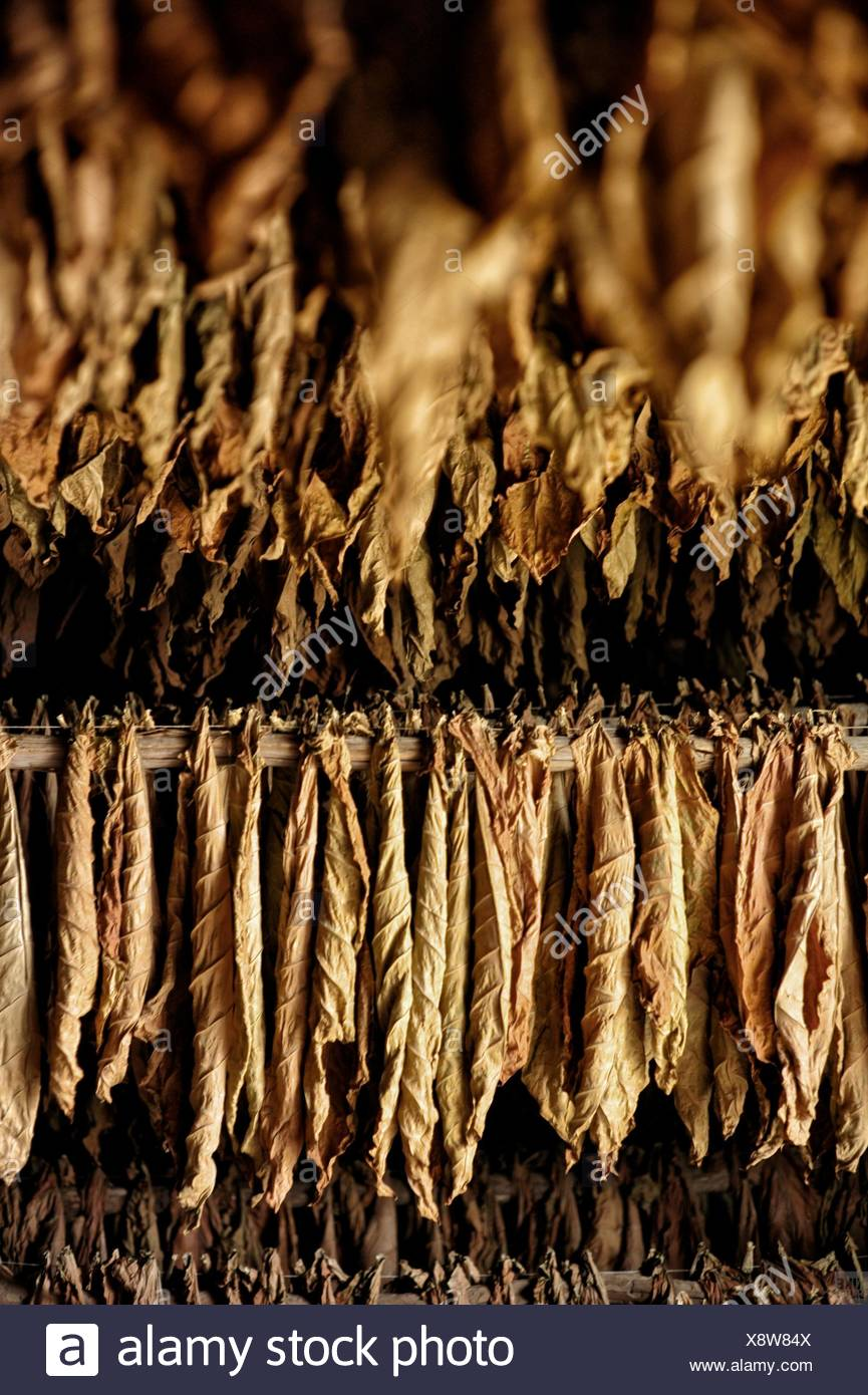 Tobacco leaves dry on a plantation in Pinar del Rio. - Stock Image