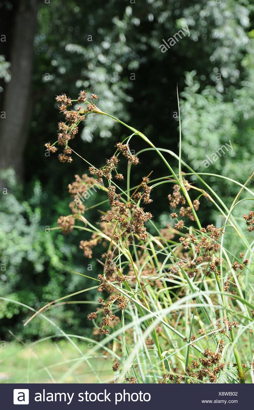 Sawgrass - Stock Image