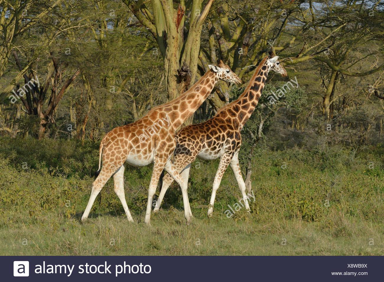zoology / animals, mammal (mammalia), Rothschild's, Baringo- or Ugandan giraffes (Giraffa camelopardalis rothschildi), Lake Nakuru, Nakuru National Park, Kenya, Africa, Additional-Rights-Clearance-Info-Not-Available - Stock Image