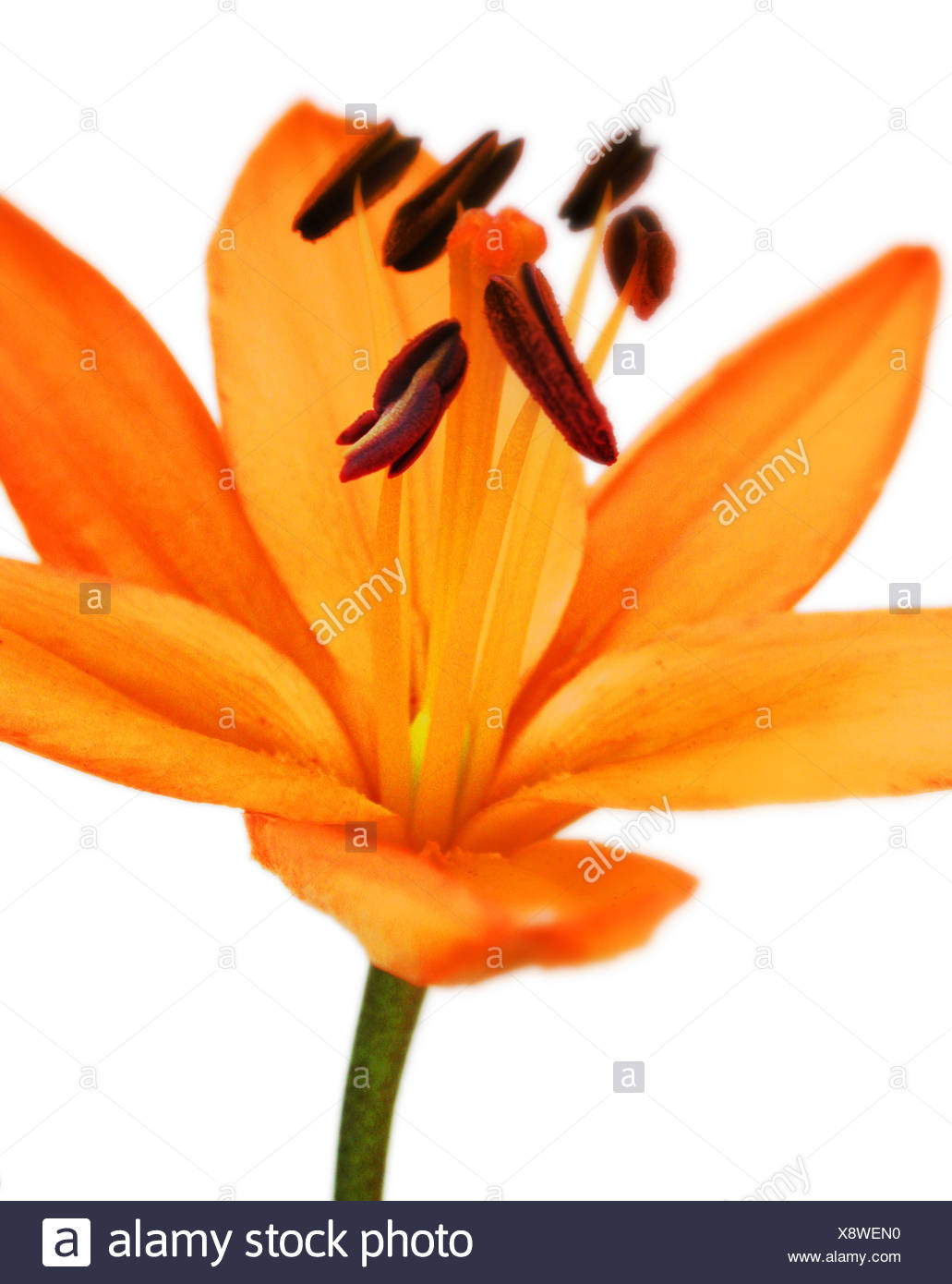 A singular lily with modern crop - Stock Image