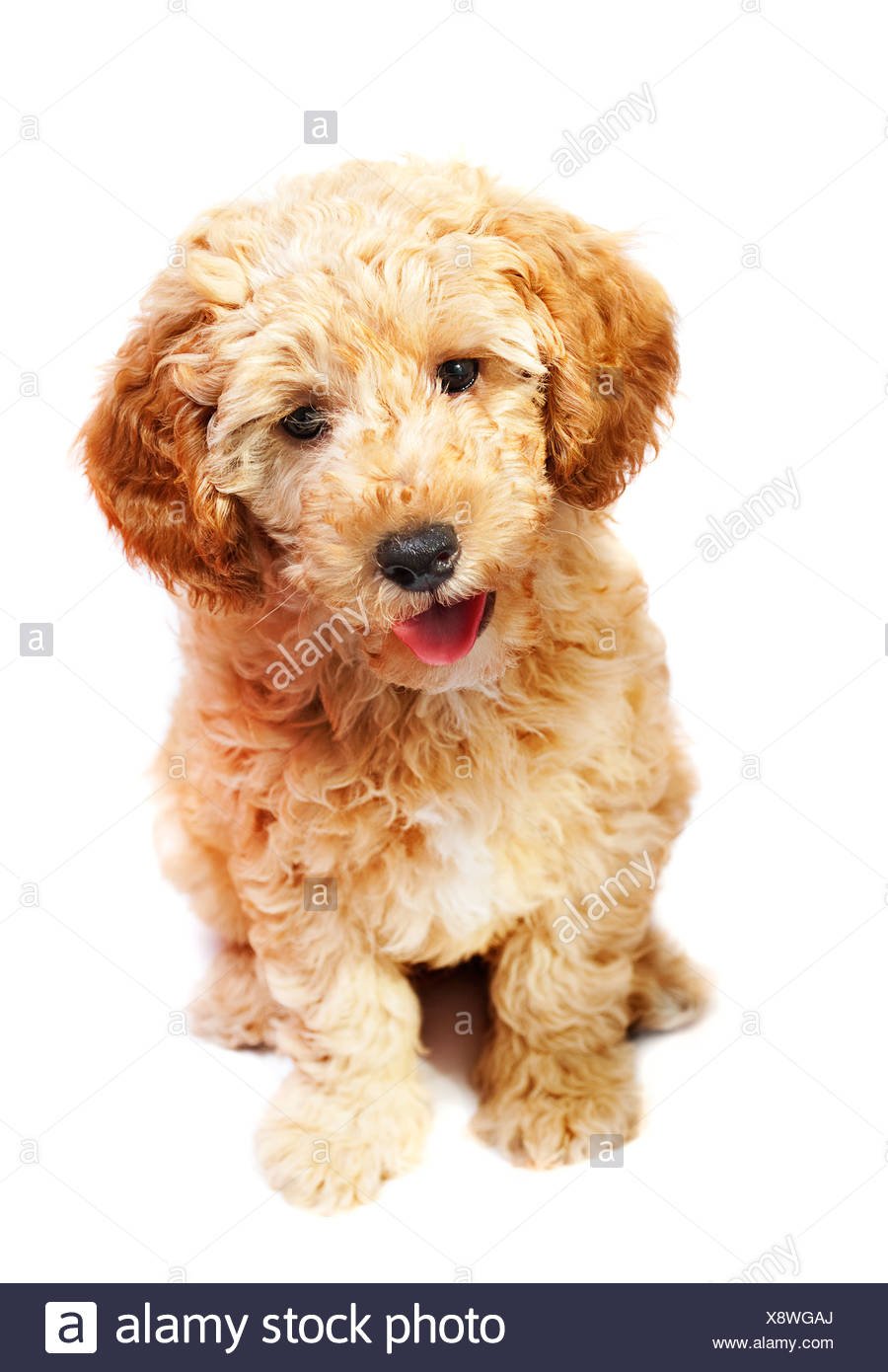 Apricot Poodle Puppy Isolated Over White Stock Photo 280844778 Alamy