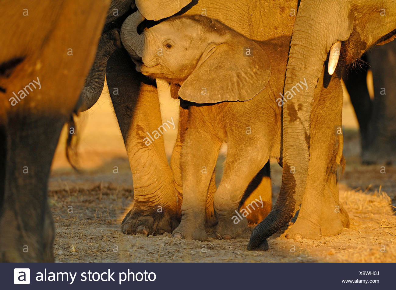 African elephant (Loxodonta africana), protected baby elephant in the midst of the herd, Botswana, Chobe National Park - Stock Image