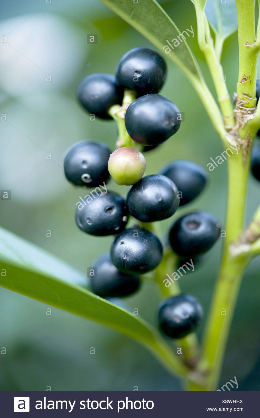 cherry laurel, prunus laurocerasus - Stock Image