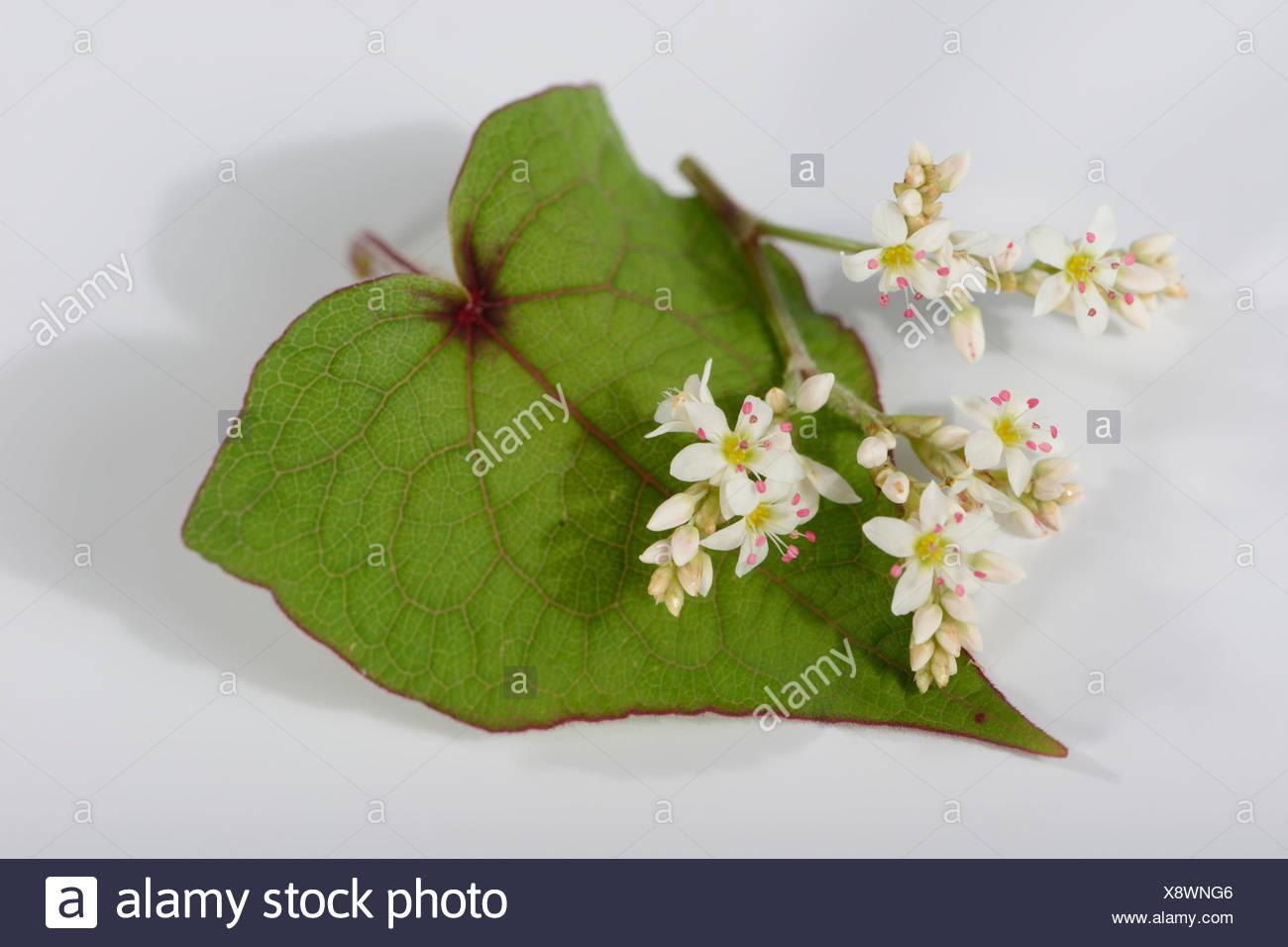 Perennial Buckwheat - Stock Image