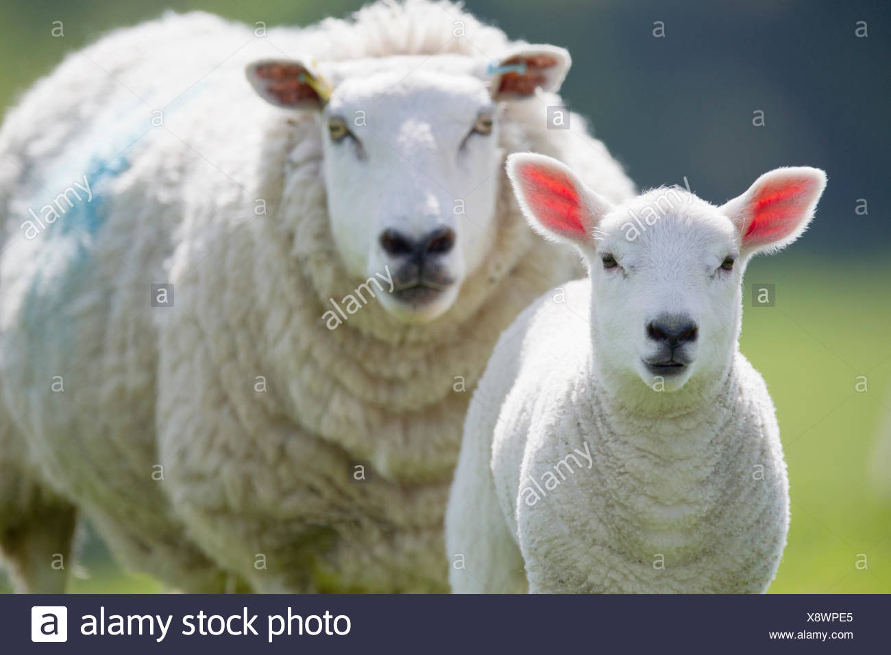 Portrait of sheep and lamb, focus on foreground Stock Photo
