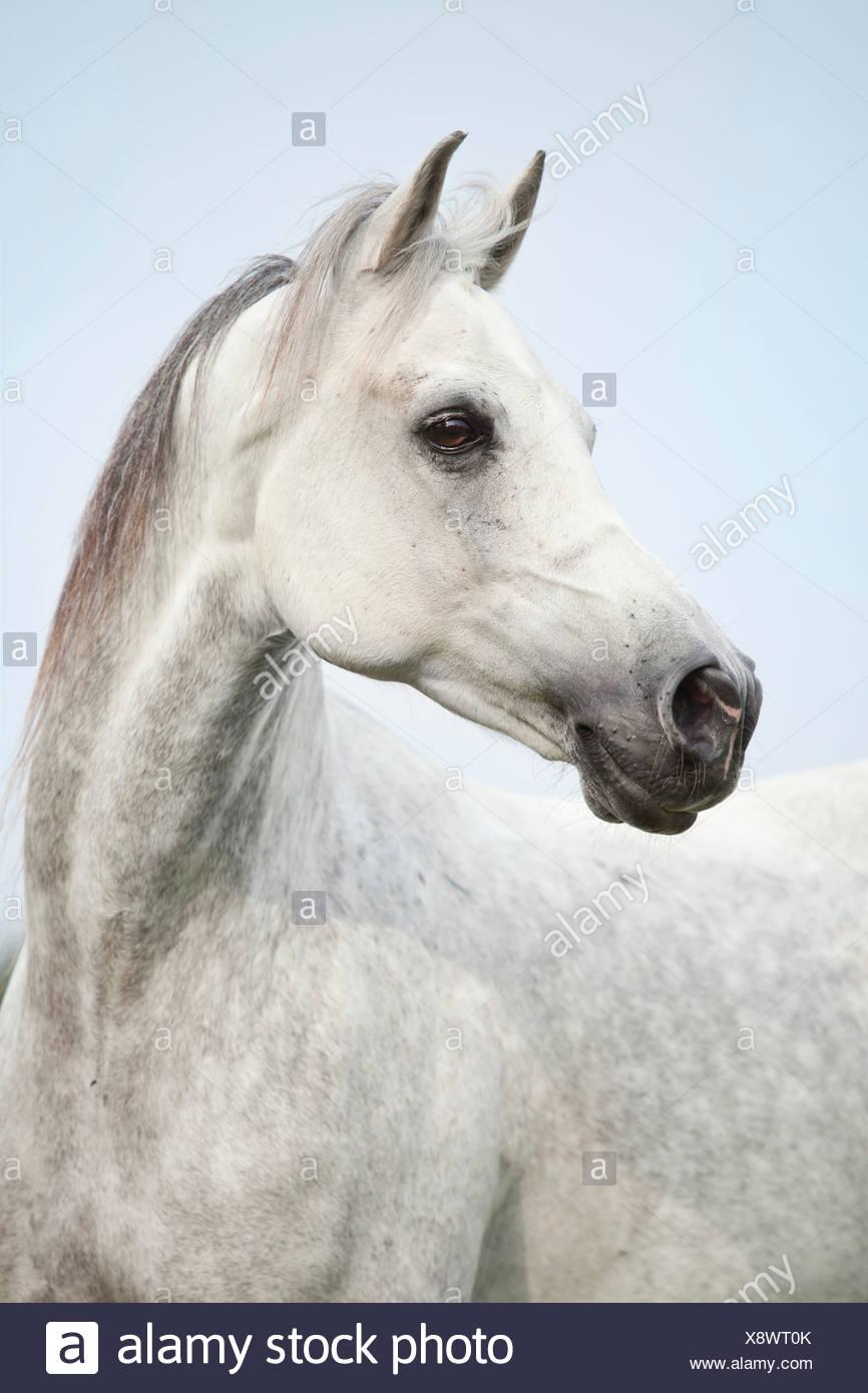 Thoroughbred Arab Gelding Dapple Grey Portrait Stock Photo Alamy