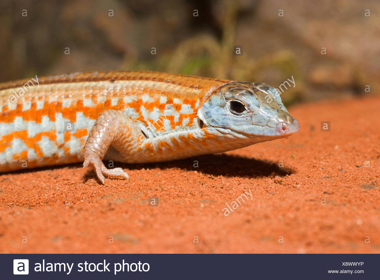 Malagasy plated lizard (Tracheloptychus petersi), on the sandy ground - Stock Image