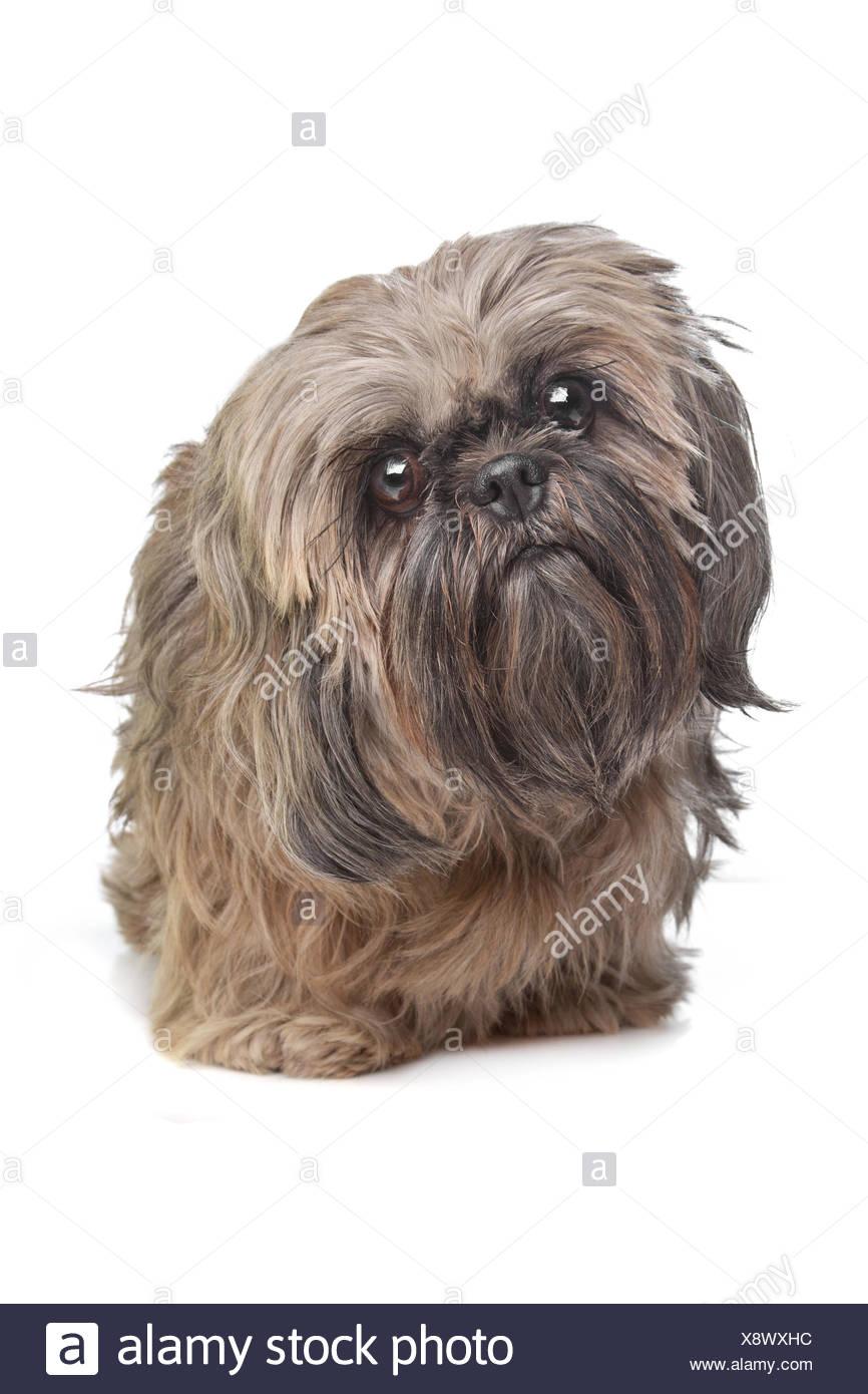 Brown Shih Tzu Dog Stock Photo 280852808 Alamy