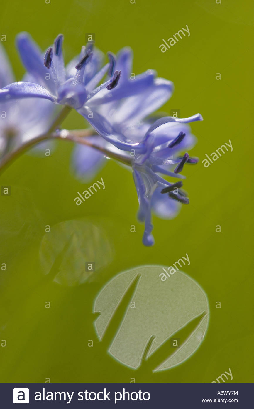 twin-leaf squill (Scilla bifolia), inflorescence, Germany, Baden-Wuerttemberg Stock Photo