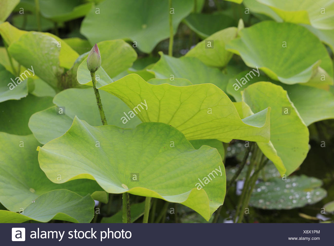 Indian lotus flower leaves stock photos indian lotus flower leaves indian lotus flower leaves with bud nelumbo nucifera stock image mightylinksfo