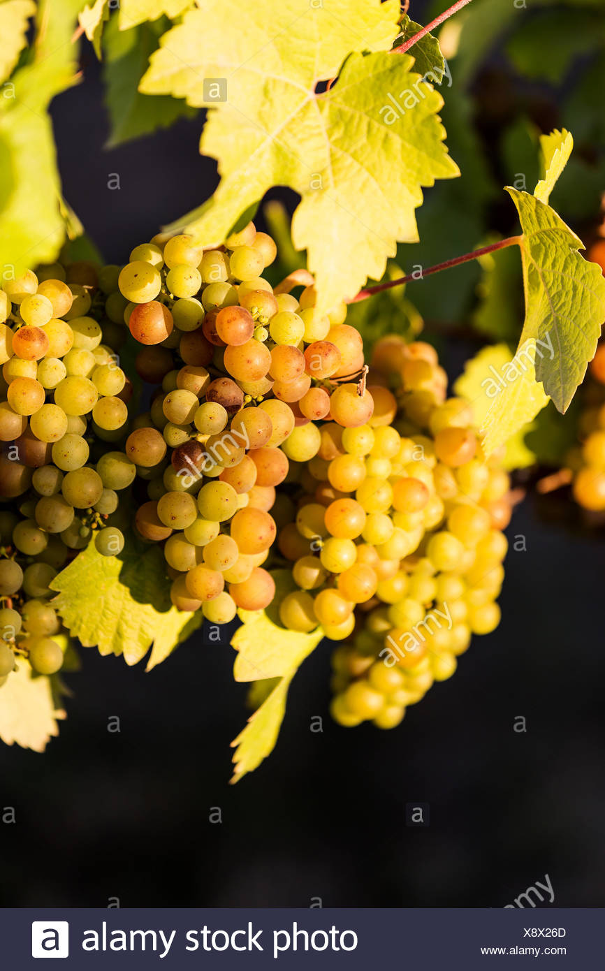 Colorful varieties of grapes ready for harvesting hang from the vine, at the Blue Grouse winery located in the Cowichan Valley, Vancouver Island, British Columbia, Canada - Stock Image